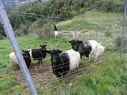 geiten bij de Col de Hundsruck